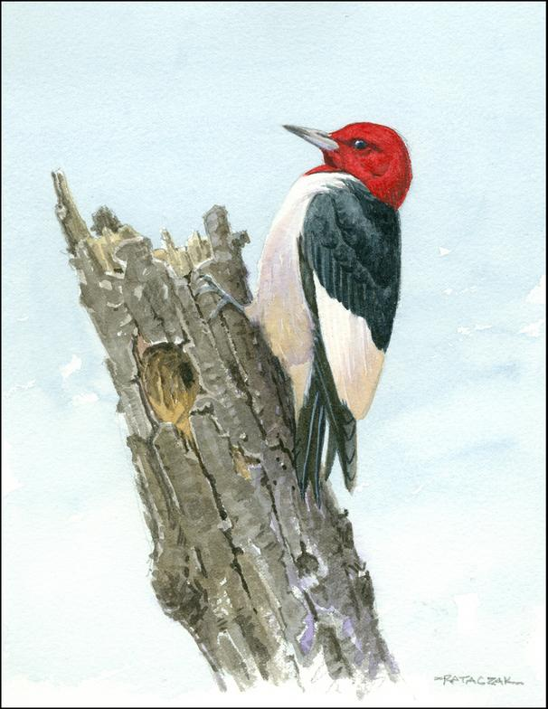 Picture suggestion for Red Headed Woodpecker Drawing