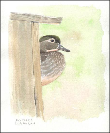 Mallard Duck Nesting Boxes Images